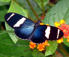 (Butterfly)