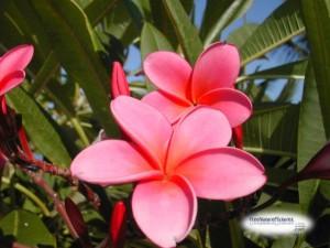 Pink frangipanni